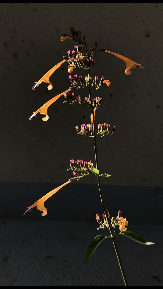 A dramatic, high-contrast photo of hummingbird mint (a tall green stem from which extend pairs of slender green leaves and long tubular orange flowers), its flowers brightly lit against a dark backdrop; sublight scattering illuminates the green of its leaves and the purple tips of the sepals from which blossoms have fallen.