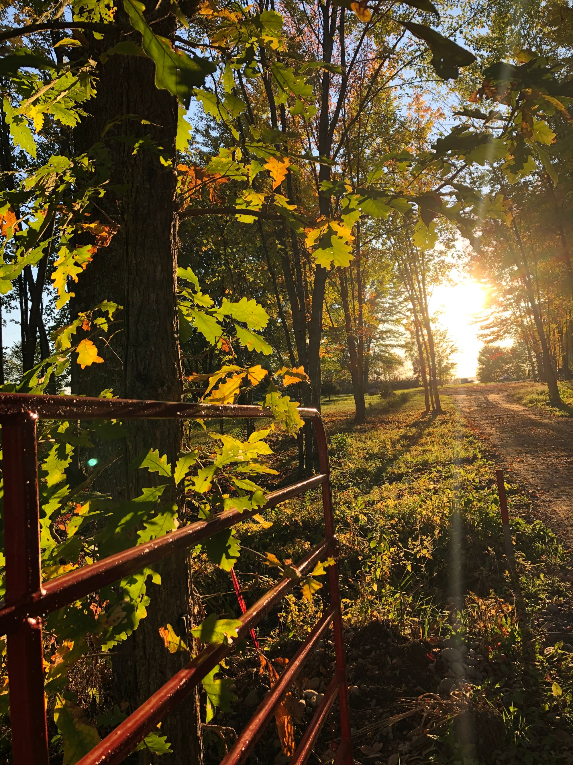 A red metal gate leans against a slender oak tree, its lobed leaves lit by the rays of a setting sun in the distance. A dirt path leads towards the sun, cutting through grasses and further distant trees. Rays of light stream visibly towards the camera; the effect is warm and evocative of early October in Ontario.